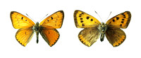 Extinct British Large Copper Butterfly, Lycaena dispar dispar   (TIFF)