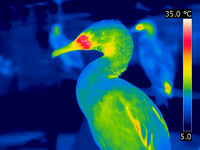 Great Cormorant - thermal image  (JPEG)