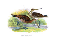 Black-Tailed Godwit   (JPEG)
