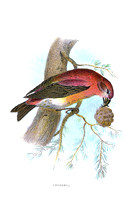 Crossbill   (JPEG)