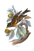 Brambling   (JPEG)