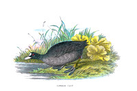 Common Coot   (TIFF)