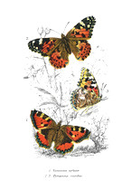 Small Tortoiseshell & Painted Lady    (JPEG)